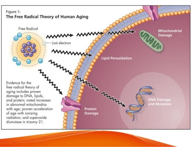 Protein modification • Proteins are major targets of free radical attack because of their high abundance & responsible for...
