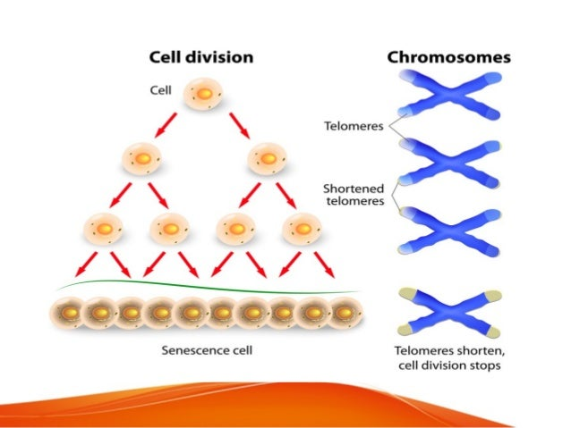 • Apoptosis or programmed cell death • When a cell is compelled to commit suicide proteins called caspases go into action....