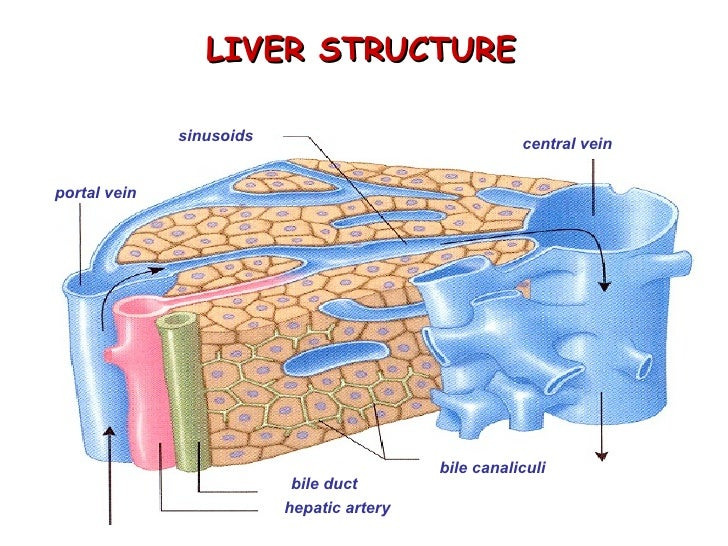 Biochemistry Of Livermuscles