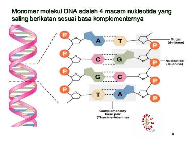 Biodasar 8 nukleus materi genetik 10 10 monomer molekul dna ccuart Images