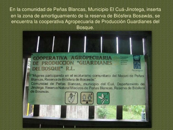 En la comunidad de Peñas Blancas, Municipio El Cuá-Jinotega, inserta en la zona de amortiguamiento de la reserva de Biósfe...