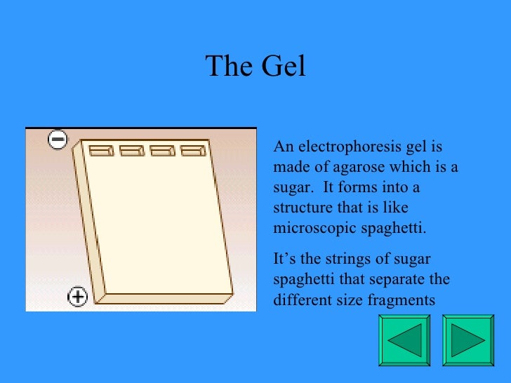 The Gel An electrophoresis gel is made of agarose which is a sugar.  It forms into a structure that is like microscopic sp...