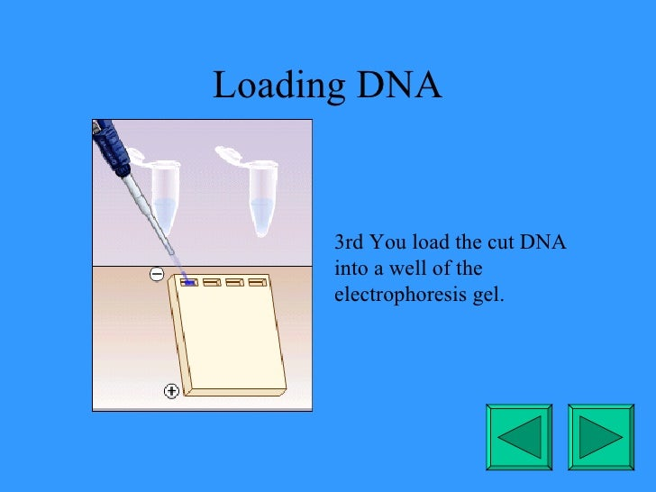 Loading DNA 3rd You load the cut DNA into a well of the electrophoresis gel.