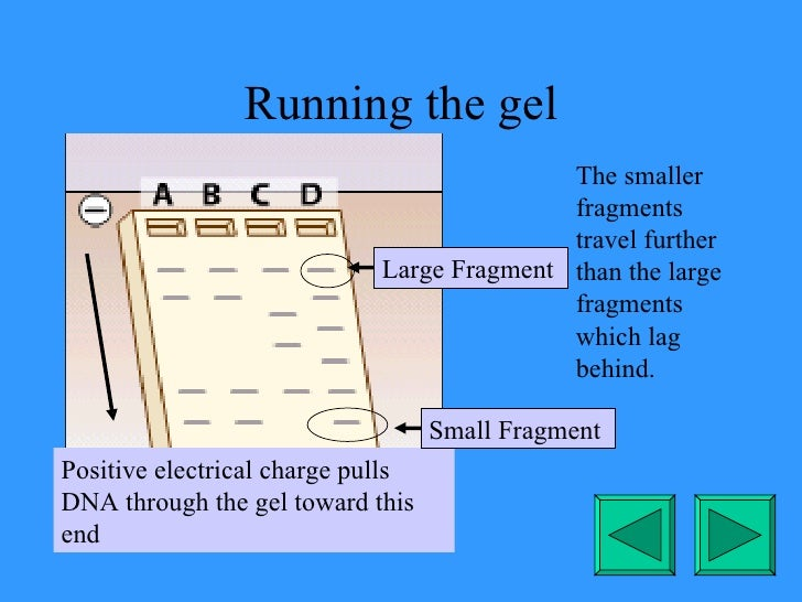 Running the gel The smaller fragments travel further than the large fragments which lag behind. Small Fragment Large Fragm...