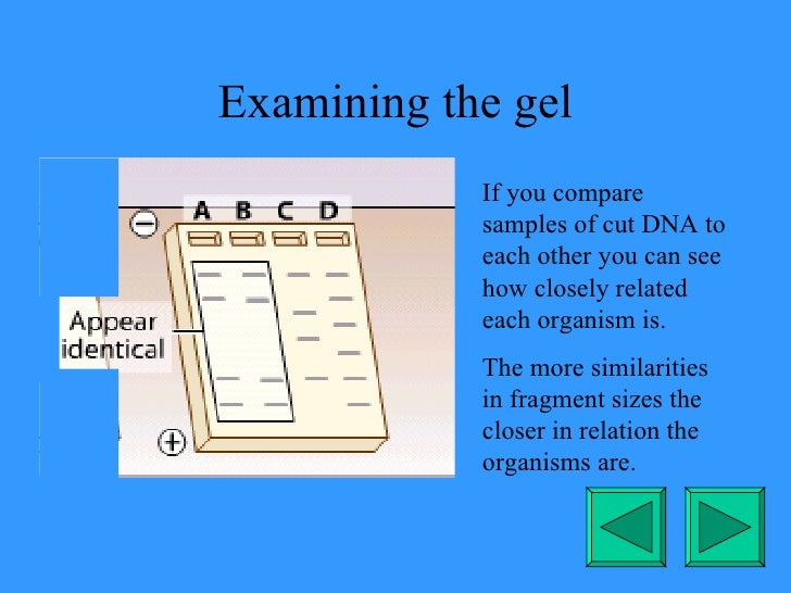 Examining the gel If you compare samples of cut DNA to each other you can see how closely related each organism is. The mo...