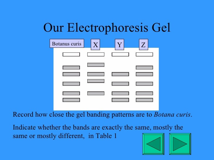Our Electrophoresis Gel Record how close the gel banding patterns are to  Botana curis . Indicate whether the bands are ex...