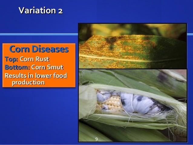 Variation 2Variation 2 Corn DiseasesCorn Diseases Top:Top: Corn RustCorn Rust Bottom:Bottom: Corn SmutCorn Smut Results in...