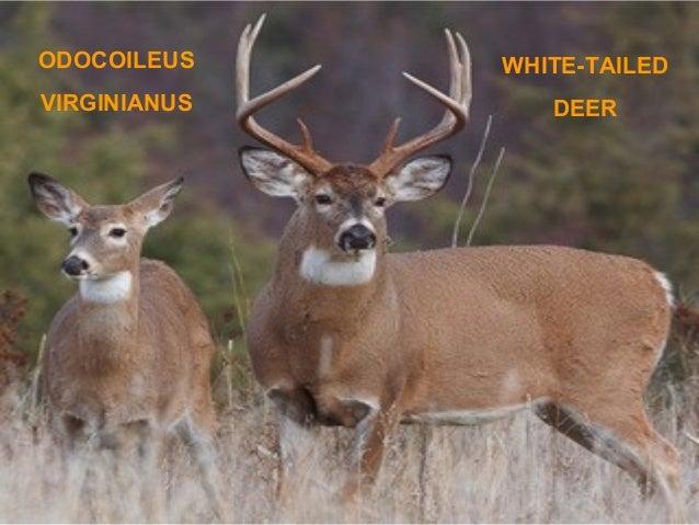 ODOCOILEUS  WHITE-TAILED  VIRGINIANUS  DEER