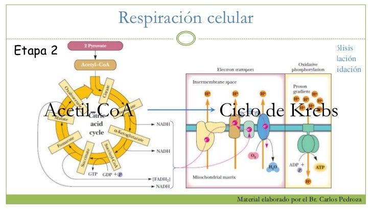 Bioenergética Ii Parte 1 Ciclo De Krebs Y Fosforilación Oxidativa