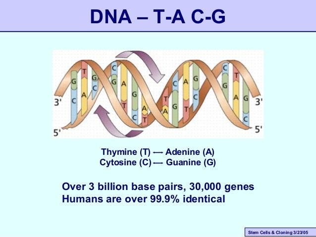 Stem Cells & Cloning 3/23/05 DNA – T-A C-G Thymine (T) Adenine (A) Cytosine (C) Guanine (G) Over 3 billion base pairs, 30,...