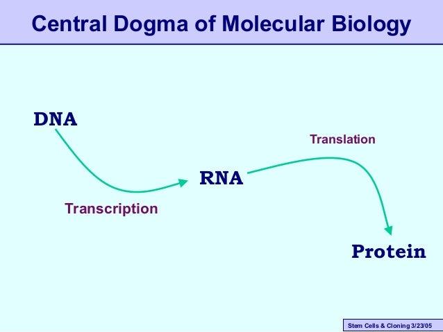 Stem Cells & Cloning 3/23/05 Central Dogma of Molecular Biology DNA RNA Protein Transcription Translation