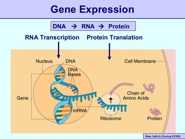 Stem Cells & Cloning 3/23/05 RNA Transcription Protein Translation DNA  RNA  Protein Gene Expression
