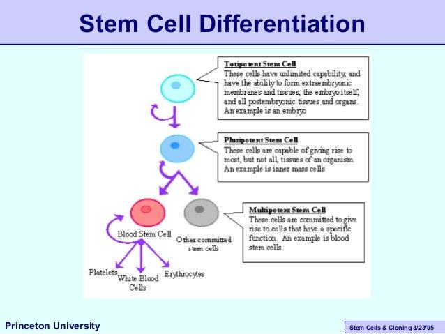 Stem Cells & Cloning 3/23/05 Stem Cell Differentiation Princeton University