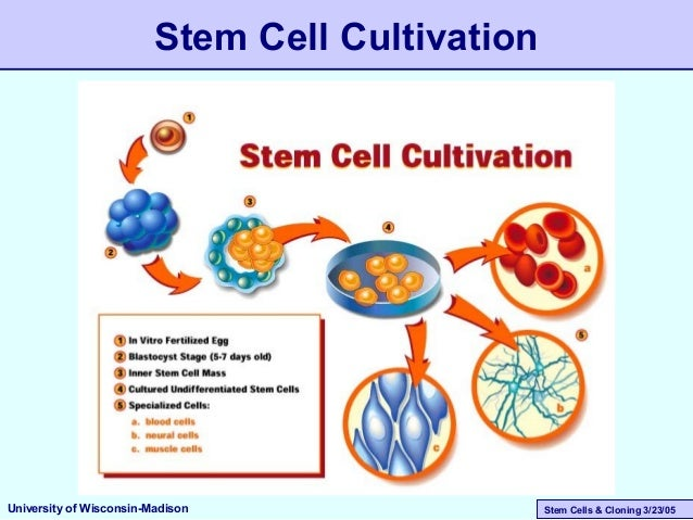 Stem Cells & Cloning 3/23/05 Stem Cell Cultivation University of Wisconsin-Madison