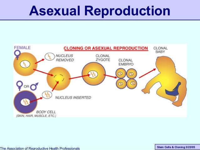 Stem Cells & Cloning 3/23/05 Asexual Reproduction The Association of Reproductive Health Professionals