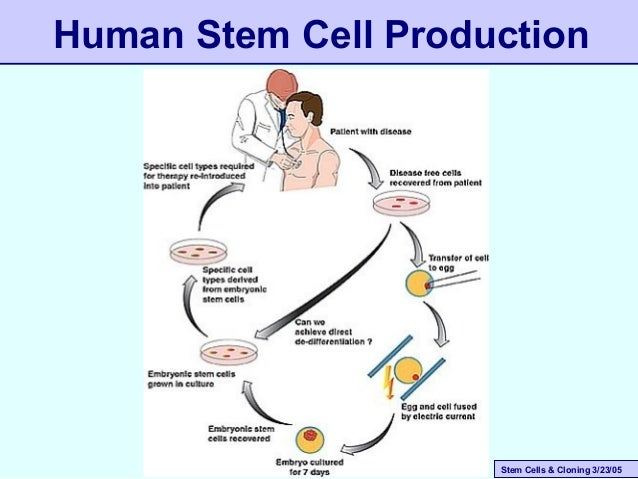 cloning stem cell research essay The advantages and disadvantages of stem cell research been against human cloning of this essay and no longer wish to have the essay.