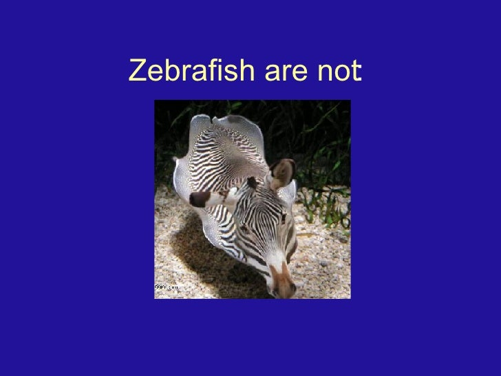 Zebrafish are not :