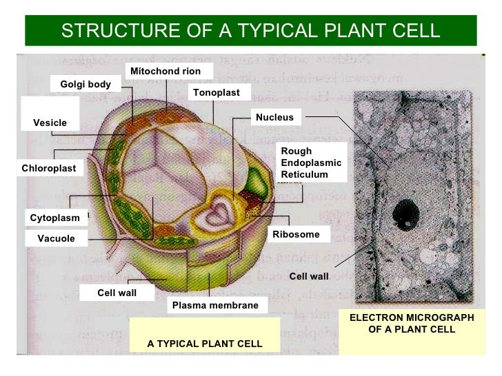 found plant cell and animal cell explain li ul a