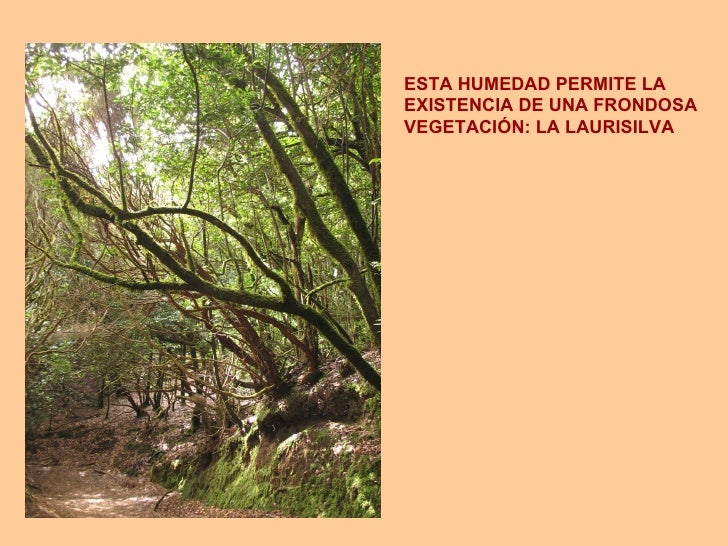 ESTA HUMEDAD PERMITE LA  EXISTENCIA DE UNA FRONDOSA VEGETACIÓN: LA LAURISILVA