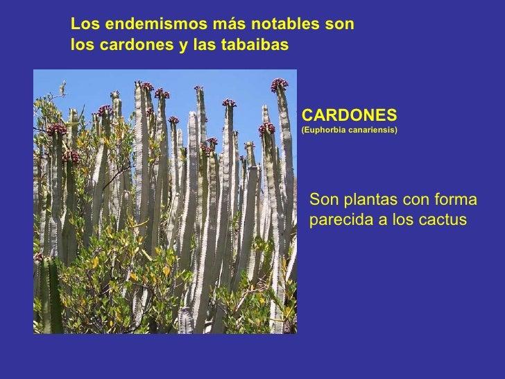 CARDONES  (Euphorbia canariensis) Son plantas con forma  parecida a los cactus Los endemismos más notables son  los cardon...