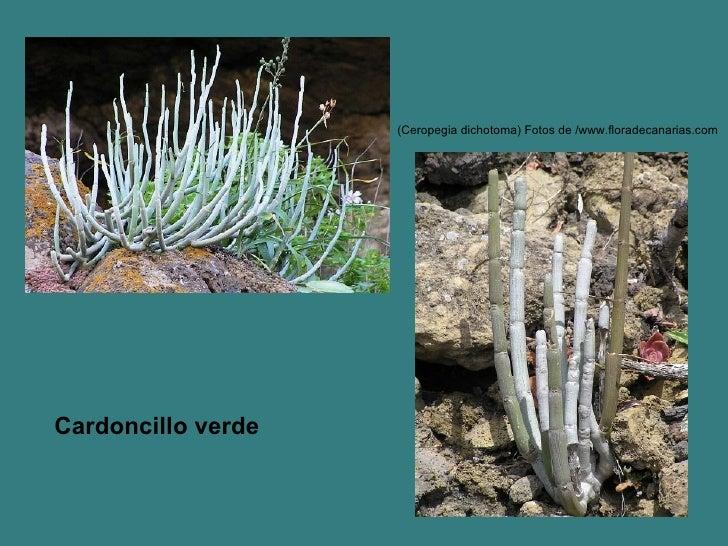 (Ceropegia dichotoma) Fotos de /www.floradecanarias.com   Cardoncillo verde