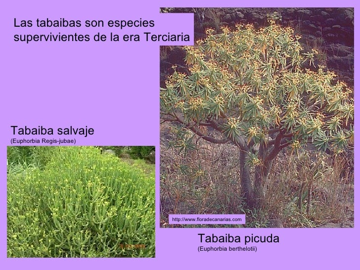 Tabaiba salvaje (Euphorbia Regis-jubae) Tabaiba picuda   (Euphorbia berthelotii) Las tabaibas son especies supervivientes ...
