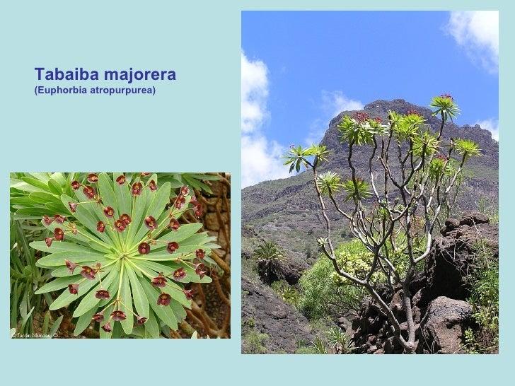 Tabaiba majorera (Euphorbia atropurpurea)