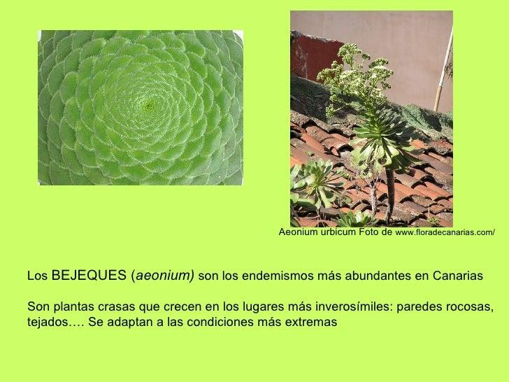 Los  BEJEQUES ( aeonium)  son los endemismos más abundantes en Canarias Son plantas crasas que crecen en los lugares más i...