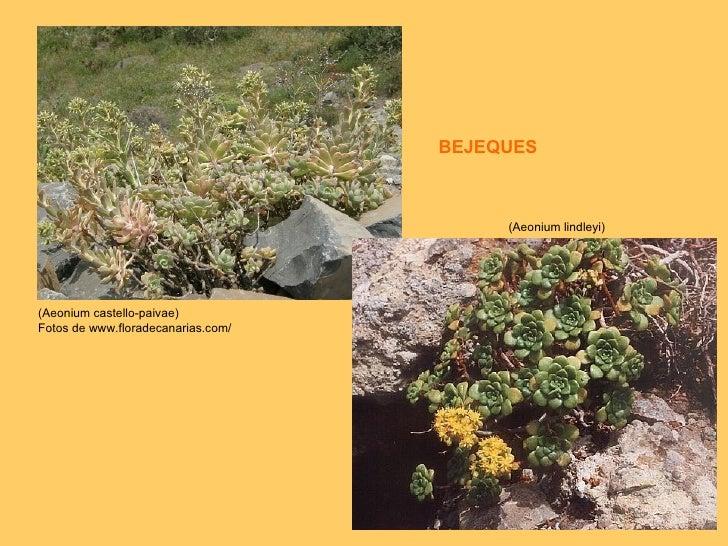 (Aeonium castello-paivae) Fotos de www.floradecanarias.com/  (Aeonium lindleyi) BEJEQUES