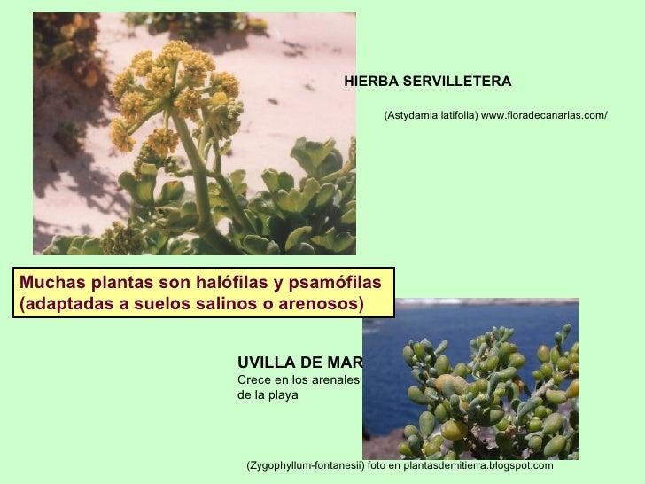 (Astydamia latifolia) www.floradecanarias.com/   HIERBA SERVILLETERA (Zygophyllum-fontanesii) foto en plantasdemitierra.bl...
