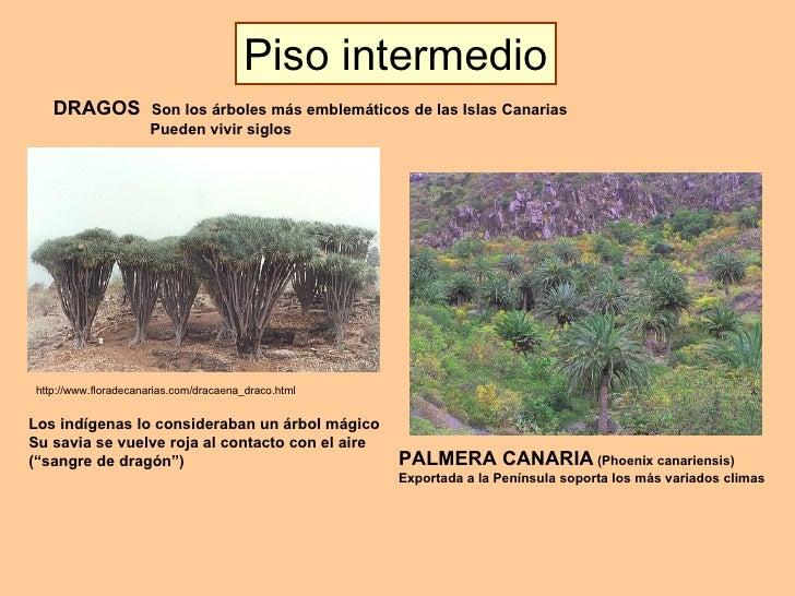 DRAGOS  Son los árboles más emblemáticos de las Islas Canarias   Pueden vivir siglos http://www.floradecanarias.com/dracae...