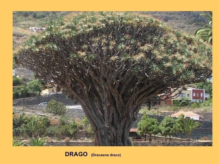 DRAGO  (Dracaena draco)