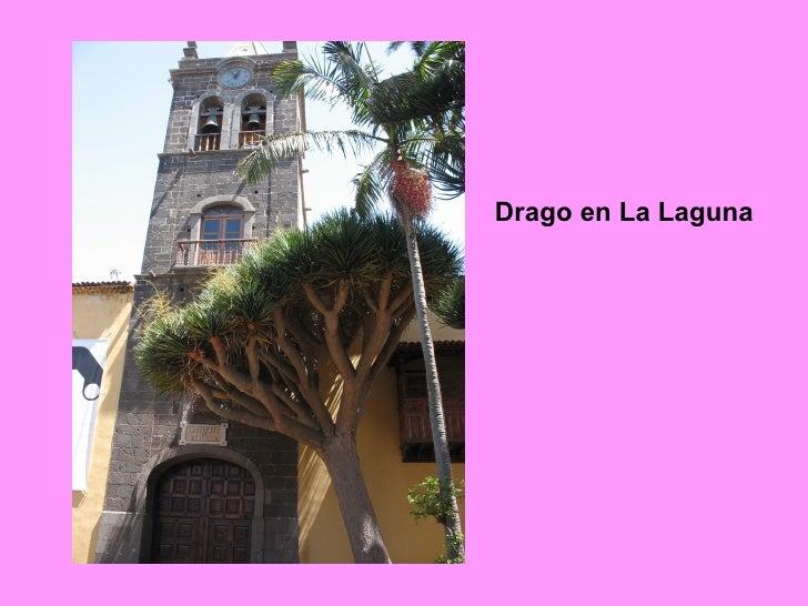 Drago en La Laguna