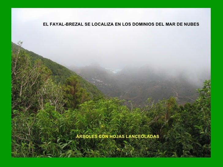 EL FAYAL-BREZAL SE LOCALIZA EN LOS DOMINIOS DEL MAR DE NUBES ÁRBOLES CON HOJAS LANCEOLADAS