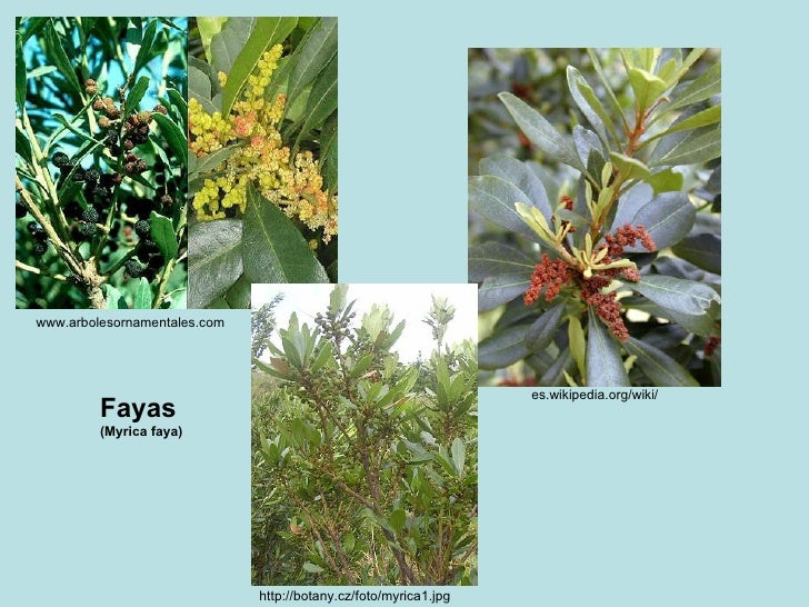 www.arbolesornamentales.com  es.wikipedia.org/wiki/  http://botany.cz/foto/myrica1.jpg  Fayas (Myrica faya)