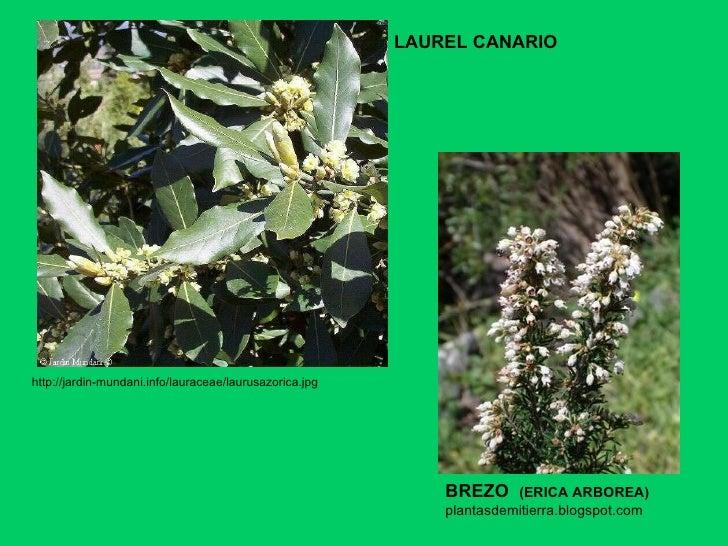LAUREL CANARIO http://jardin-mundani.info/lauraceae/laurusazorica.jpg  BREZO  (ERICA ARBOREA) plantasdemitierra.blogspot.com