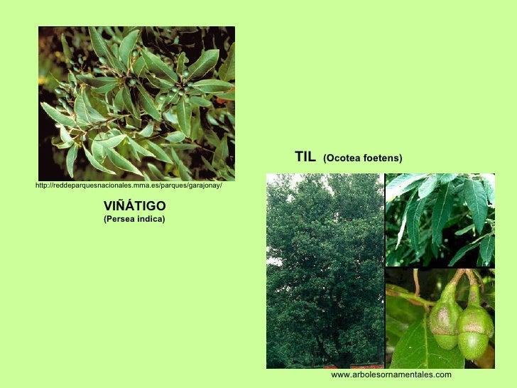 VIÑÁTIGO  (Persea indica) http://reddeparquesnacionales.mma.es/parques/garajonay/ TIL  (Ocotea foetens) www.arbolesornamen...