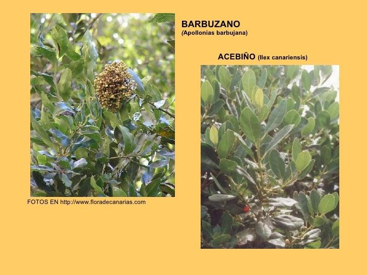 BARBUZANO ( Apollonias barbujana) FOTOS EN http://www.floradecanarias.com ACEBIÑO  (Ilex canariensis)