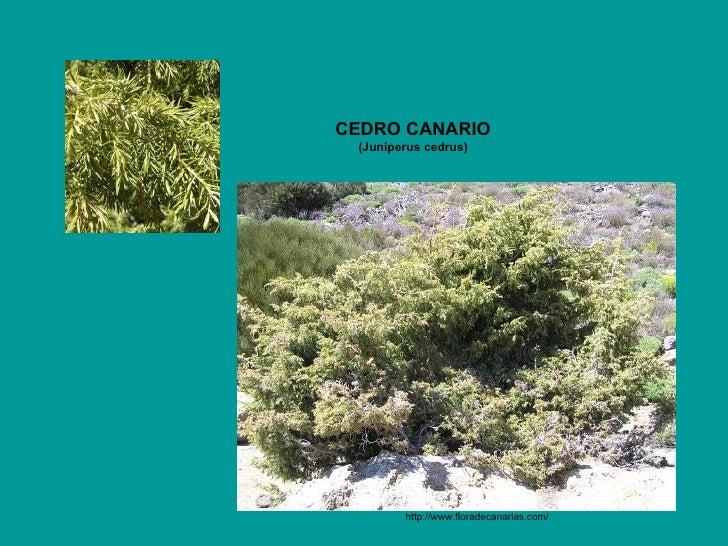 http://www.floradecanarias.com/   CEDRO CANARIO (Juniperus cedrus)