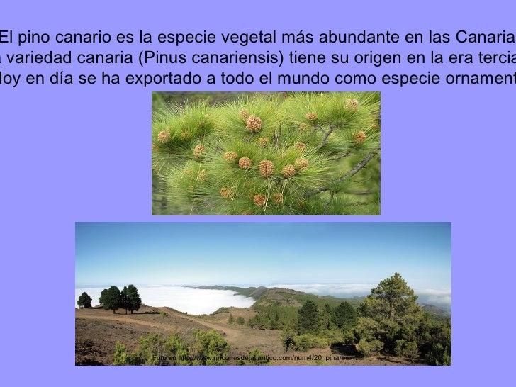 Foto en http://www.rinconesdelatlantico.com/num4/20_pinares.html  El pino canario es la especie vegetal más abundante en l...