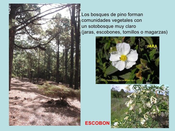 Los bosques de pino forman  comunidades vegetales con  un sotobosque muy claro (jaras, escobones, tomillos o magarzas) htt...