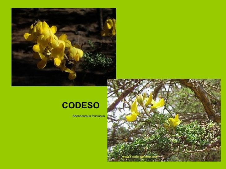Adenocarpus foliolosus CODESO www.floradecanarias.com
