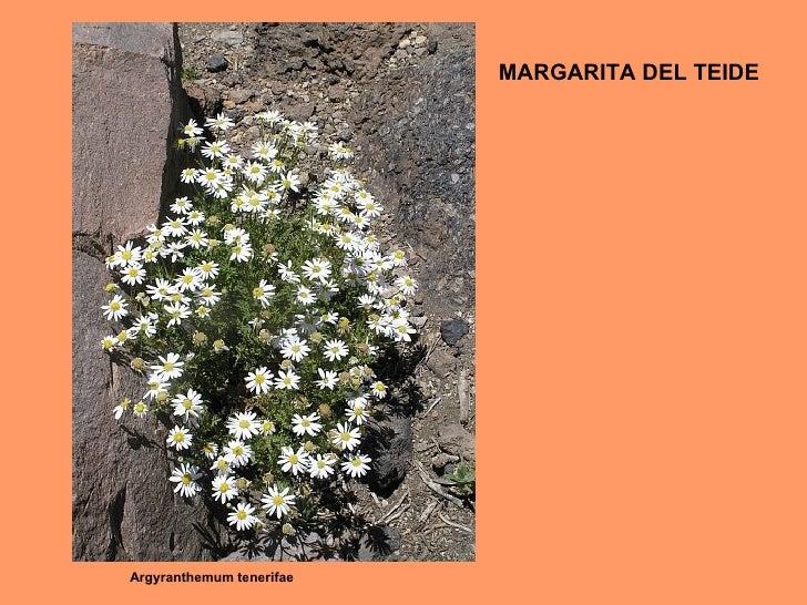 Argyranthemum tenerifae MARGARITA DEL TEIDE