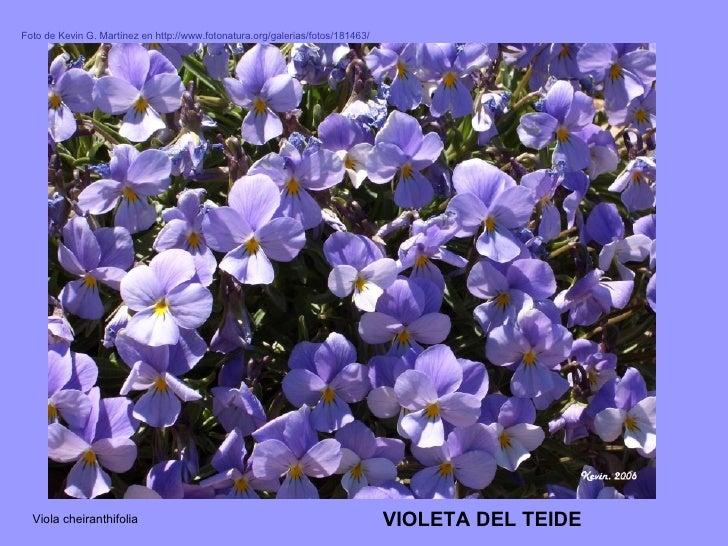 Viola cheiranthifolia VIOLETA DEL TEIDE Foto de Kevin G. Martínez en http://www.fotonatura.org/galerias/fotos/181463/