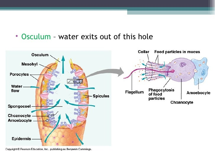Biol 11 lesson 2 feb 3 ch 26 phylum porifera sponges ulliosculum water exits out of this hole liul ccuart Choice Image