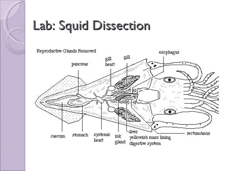 biol 11 lesson 2 mar 4 ch 27 lab squid dissection rh slideshare net squid dissection diagram labeled squid dissection diagram labeled