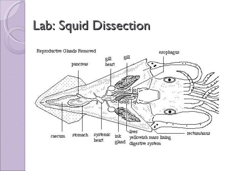 Biol 11 Lesson 2 Mar 4 - Ch. 27 Lab - Squid Dissection
