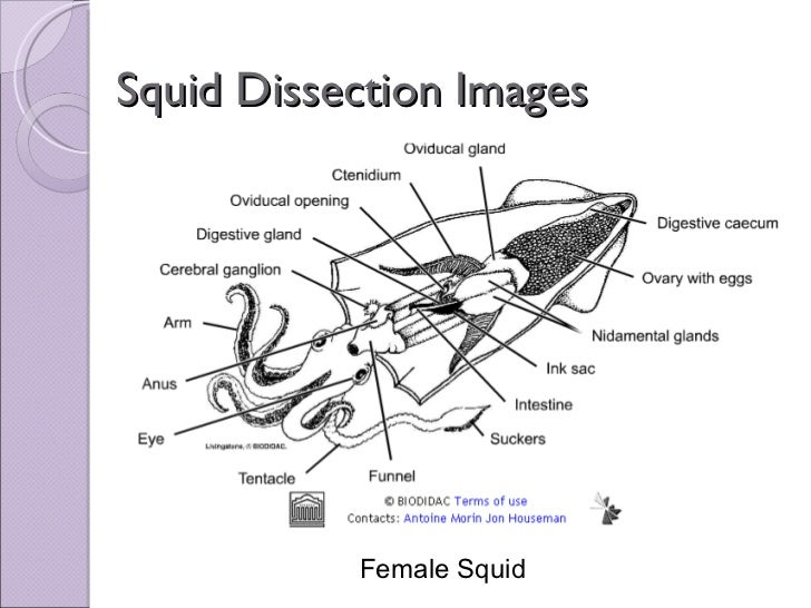 biol 11 lesson 2 mar 4 ch 27 lab squid dissection rh slideshare net Parts of a Squid Labeled Squid Internal Structure