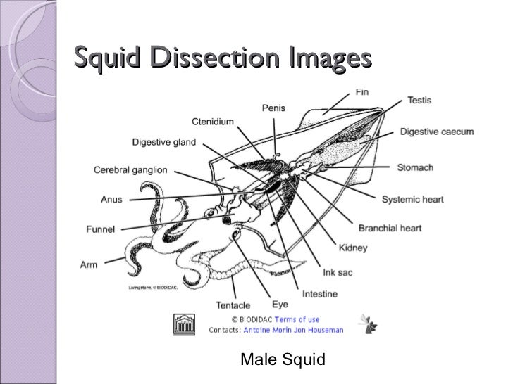 biol 11 lesson 2 mar 4 ch 27 lab squid dissection rh slideshare net Parts of a Squid Labeled Renal Sac of Squid
