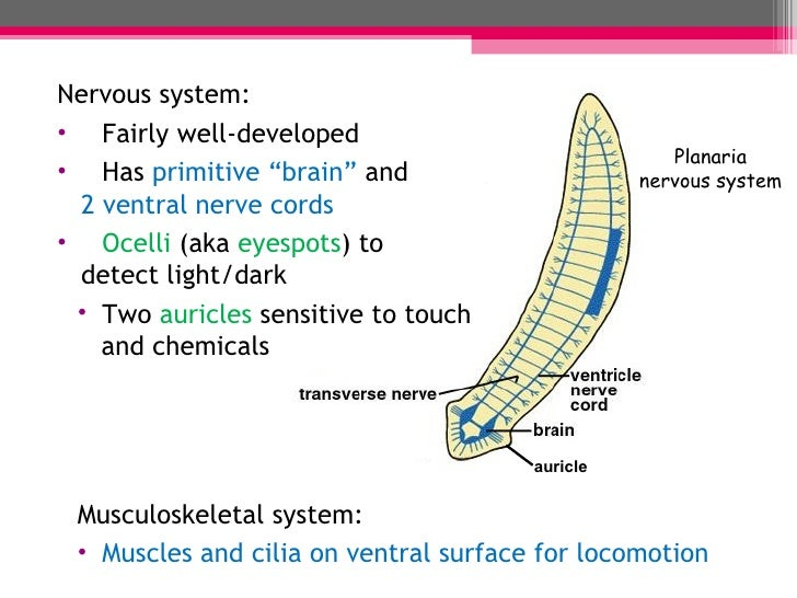 Diagram Of Flatworms Nerve Cord Circuit Connection Diagram